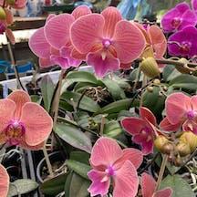 Logo of Orchids Mackay